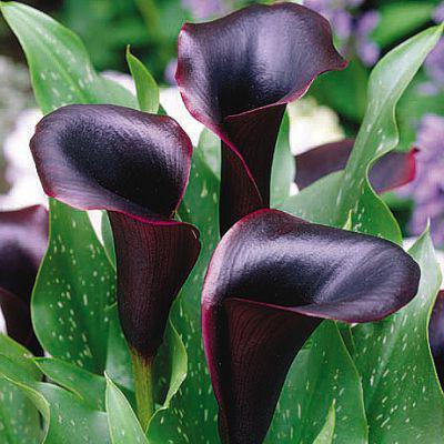калла описание вида растения содержание уход