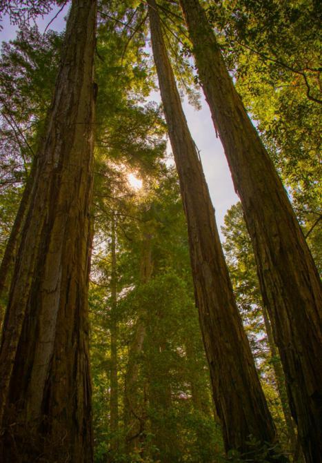 секвойя вечнозеленая максимальная высота