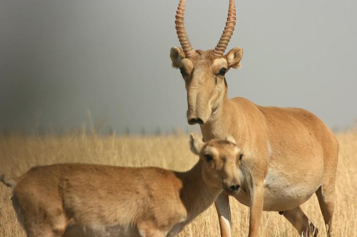 Калмыцкая антилопа: фото и описание