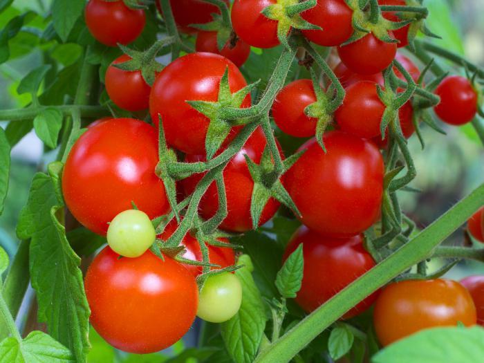 томат интуиция f1 выращивание