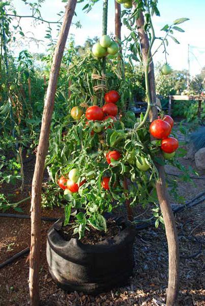 ажур f1 томат отзывы