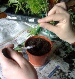 томат ажур f1 седек