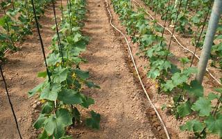 огурец эколь f1 выращивание