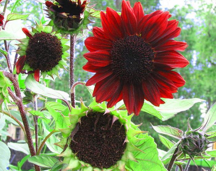 как посадить подсолнух в домашних условиях