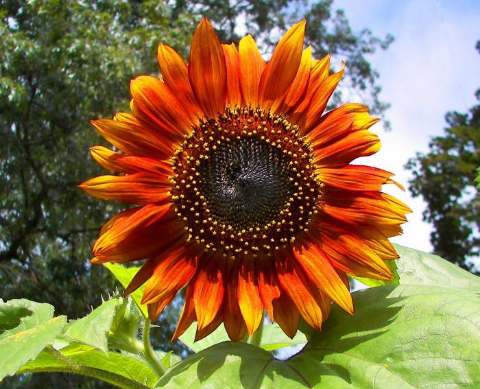 как посадить семена подсолнуха