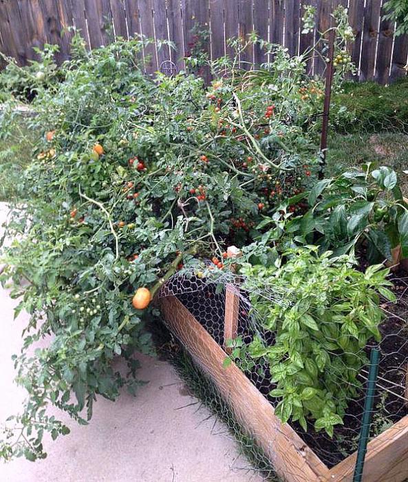 с чем сажать помидоры