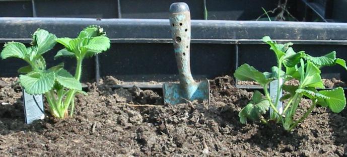 как весной посадить клубнику