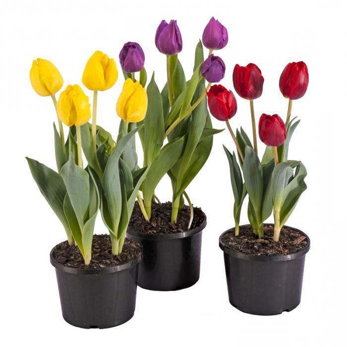 Где купить тюльпаны в горшках доставка цветов во имя розы