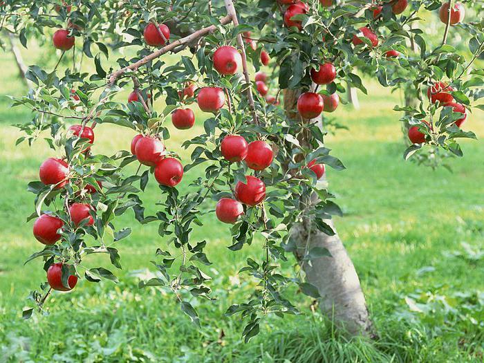 Когда лучше обрезать плодовые деревья