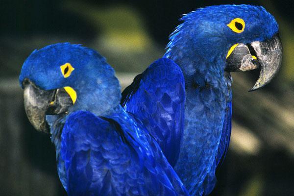синий ара фото