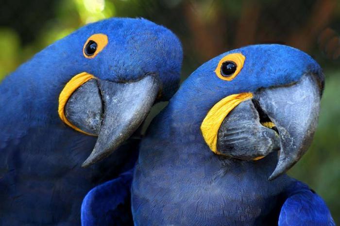 синий ара попугай