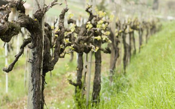 как подрезать виноград весной