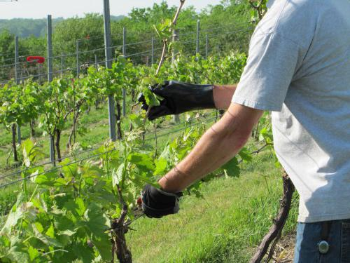 Правильно обрезать виноград