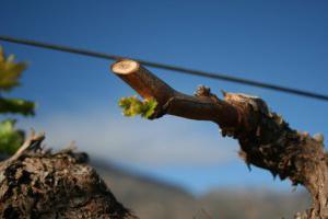 Обрезка винограда весной