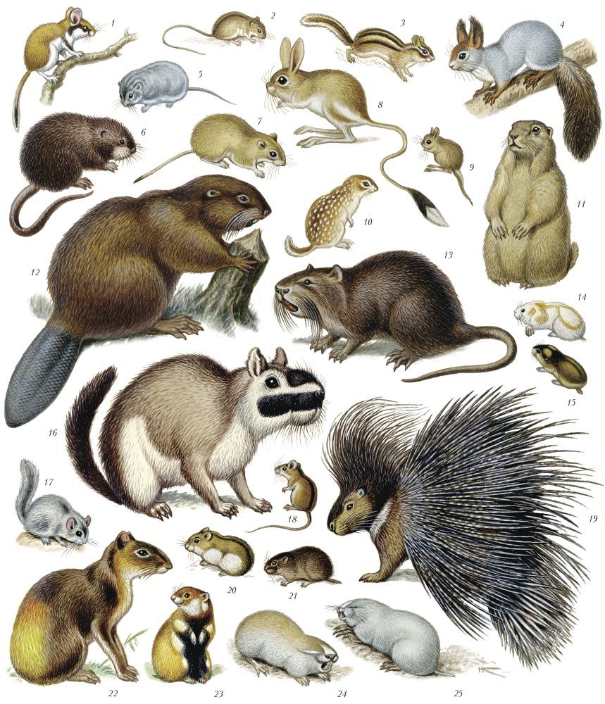 картинка отряда грызунов виду