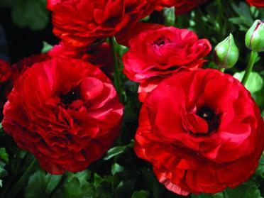 Цветы ранункулюс