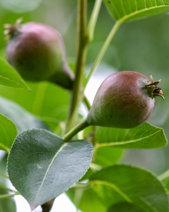 как посадить саженцы груши