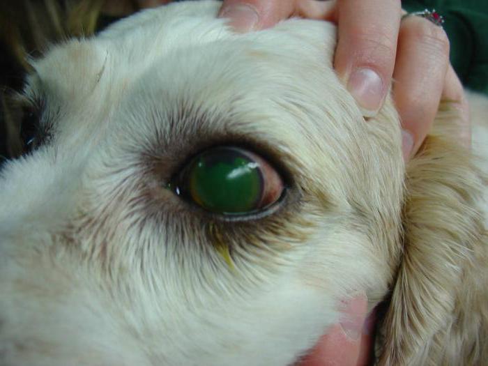 инфекционный гепатит собаки
