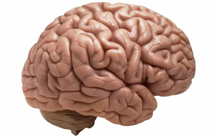 строение и функции отделов головного мозга таблица