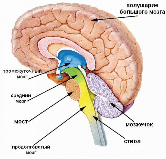 отделы головного мозга и их функции