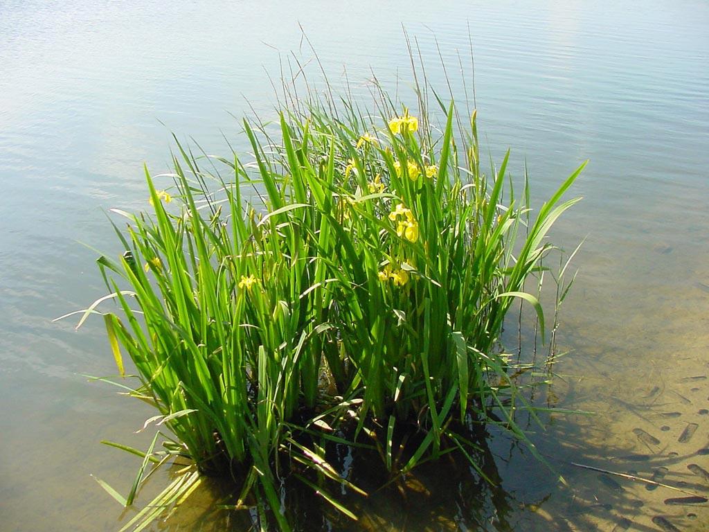 аир на болоте