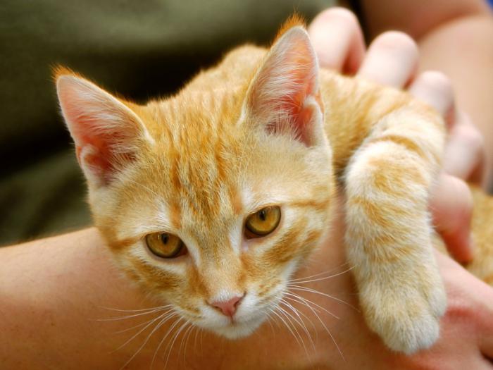 Что такое кастрация кота