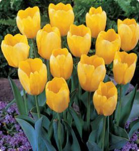 Значение желтых тюльпанов и кому их дарят