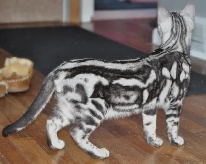 бенгальская кошка отзывы