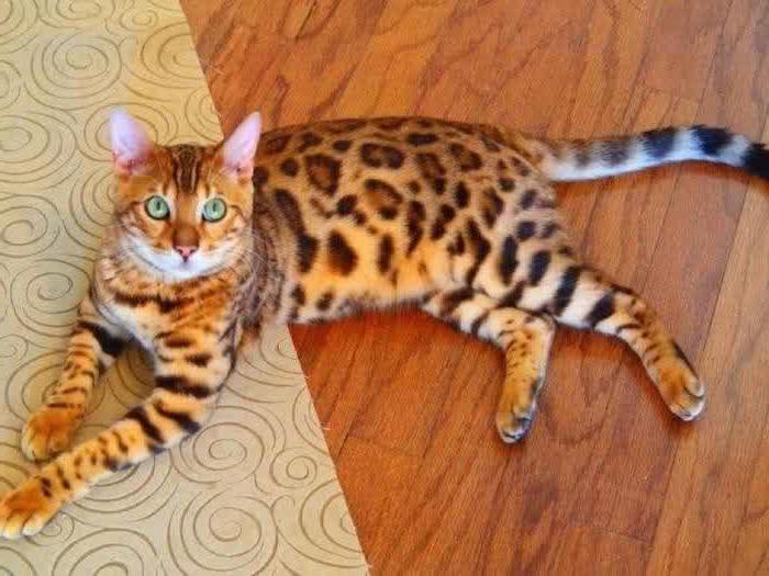 бенгальская кошка размеры