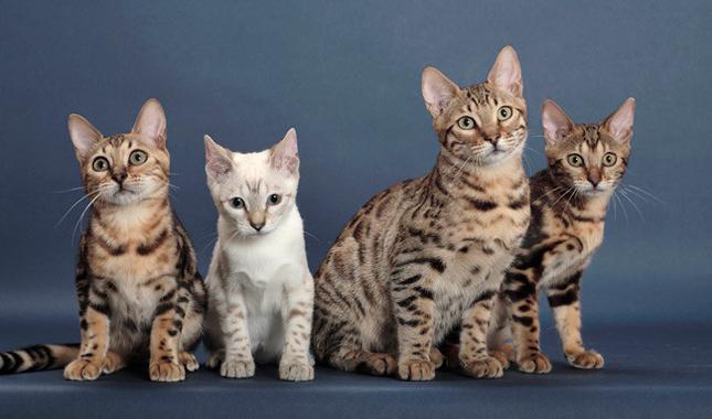 бенгальская кошка вес