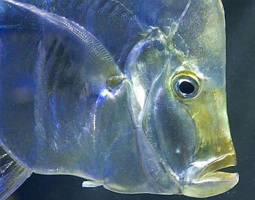 рыба вомер где обитает