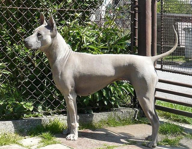 Риджбек тайский: описание породы собак, стандарт, отзывы владельцев