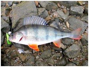 какие рыбы клюет на пареную пшеницу