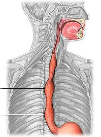 диаметр пищевода человека