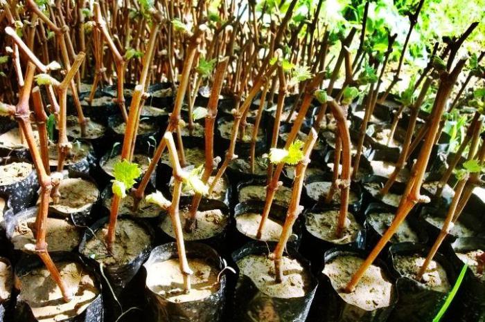 Как сделать рассаду винограда из лозы