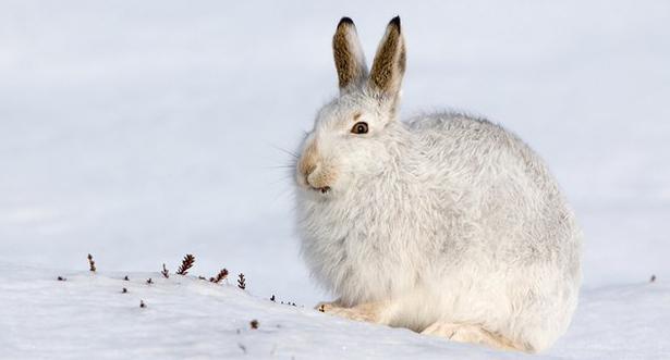 где зимует заяц
