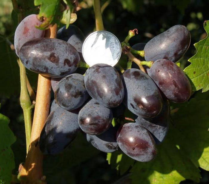 Виноград байконур