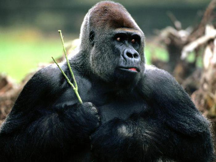 африка обезьяны