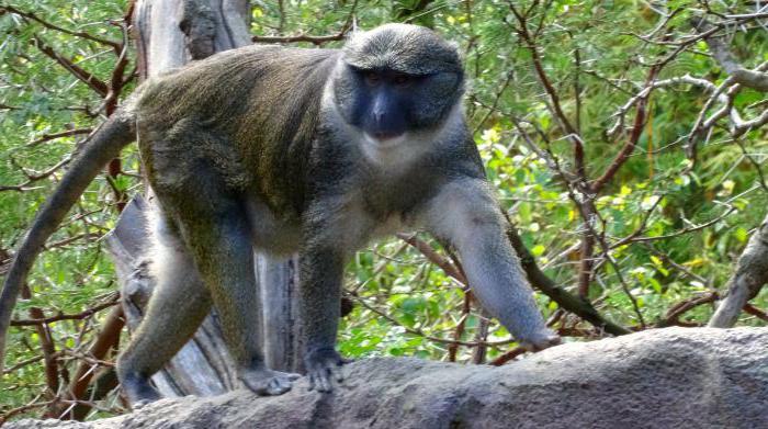 тропическая обезьянка