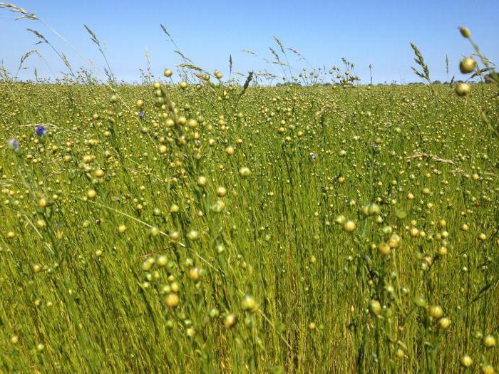 растение кукушкин лен