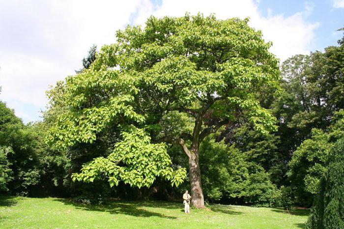 павлония дерево