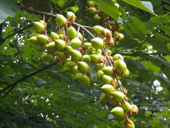 павлония адамово дерево уход выращивание