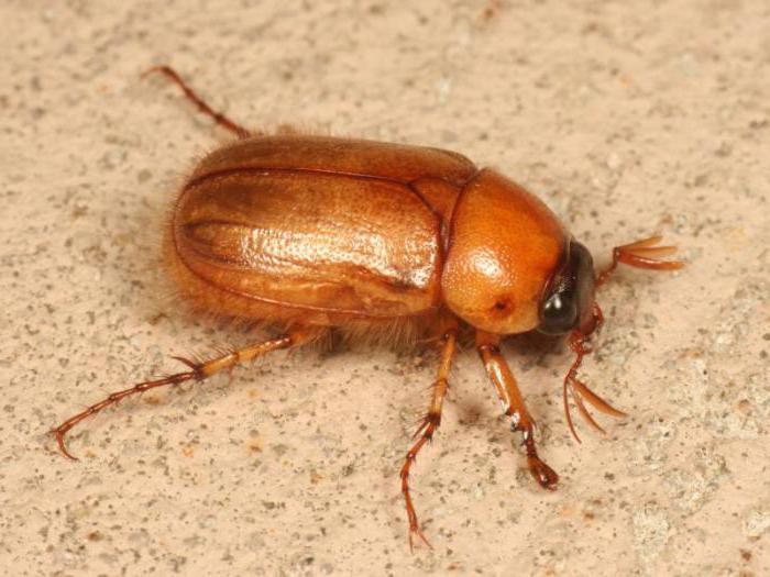 виды жуков
