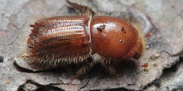 виды майских жуков
