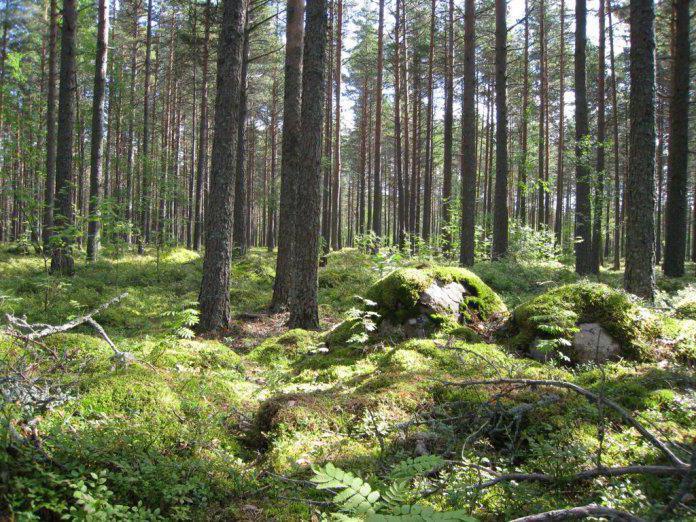 основа карельских лесов