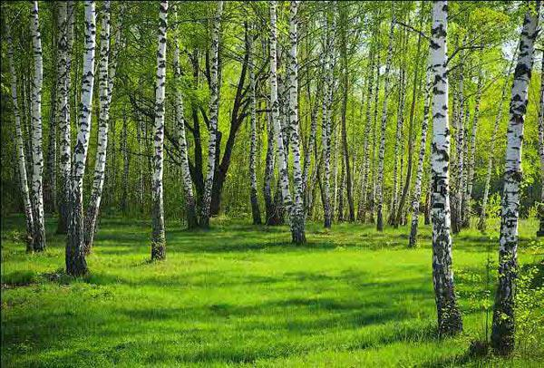карельские леса какие деревья