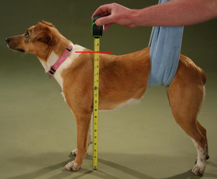 У собаки нет документов как можно их сделать