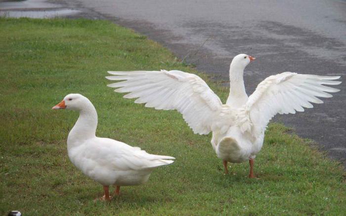 Самые сексуальные гуси