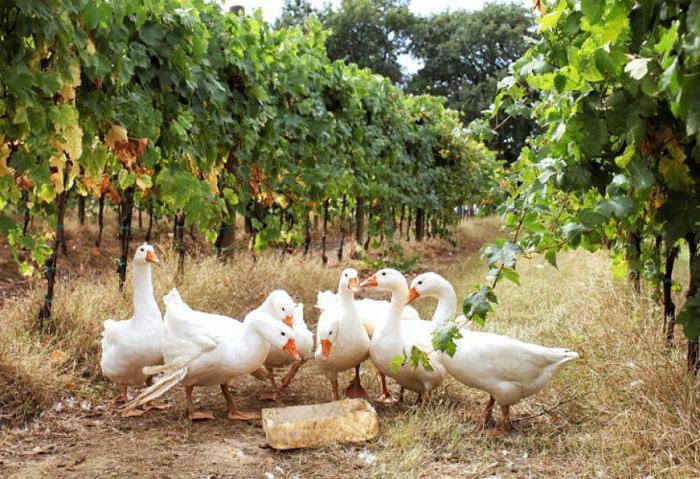 Белые гуси: описание породы, среда обитания и фото