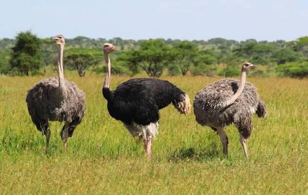 виды страусов